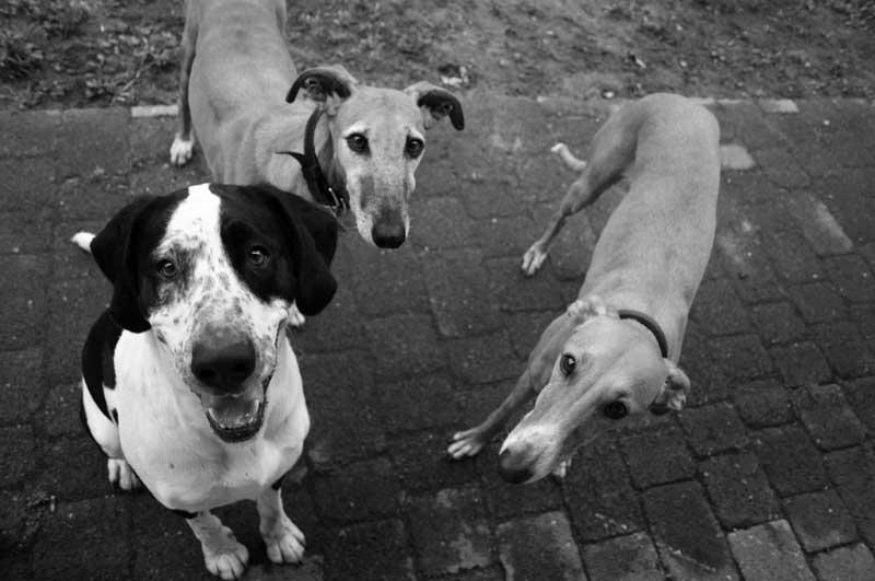 Windhunde und Milla